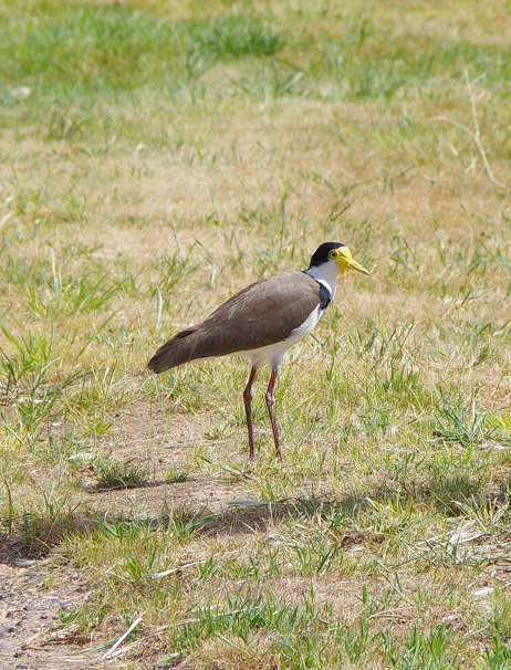 Black shouldered Lapwing (commonly called Spur wing plover)